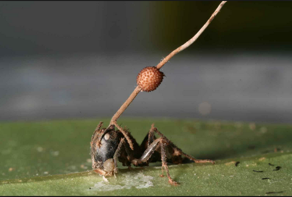 Ant infected with Ophiocordyceps unilateralis